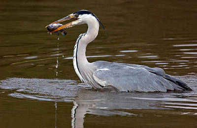 Grey Heron, Kenya Poster by Panoramic Images