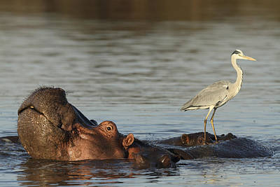 Grey Heron On Hippopotamus Kruger Np Poster by Perry de Graaf