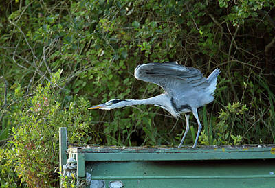 Grey Heron Stretching Its Wings Poster by Simon Booth