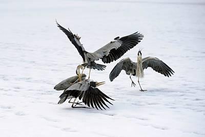 Grey Herons Fighting Over A Fish Poster by Bildagentur-online/mcphoto-schulz
