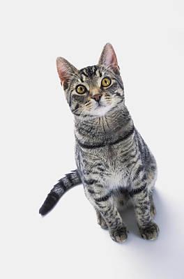 Grey Tabby Cat Looking Upwardvancouver Poster by Thomas Kitchin & Victoria Hurst