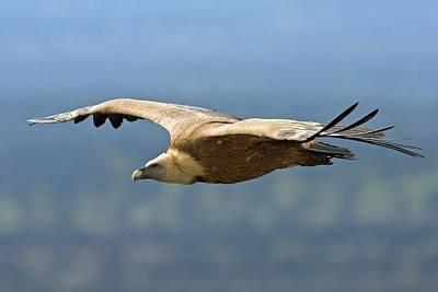 Griffon Vulture In Flight Poster by Bildagentur-online/mcphoto-schaef