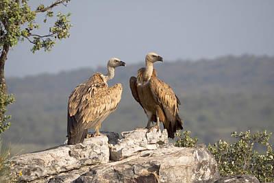Griffon Vulture Pair Extremadura Spain Poster by Gerard de Hoog