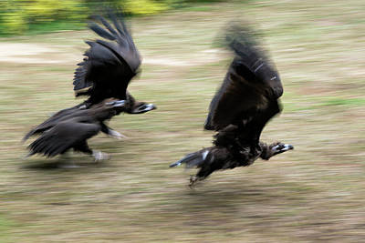 Griffon Vultures Taking Off Poster by Pan Xunbin