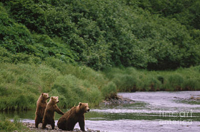 Grizzly Bear Cubs Poster by Mark Newman
