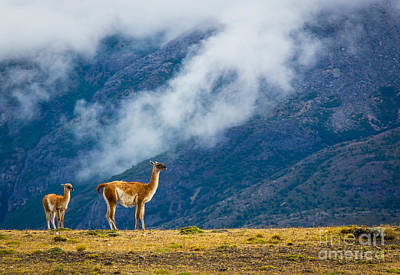 Guanaco Mother And Child Poster by Inge Johnsson