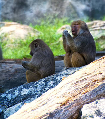 Hamadryas Baboon Sitting On Rocks Poster by Chris Flees