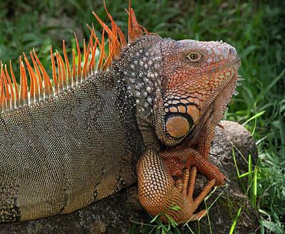 Handsome Male Green Iguana, Iguana Poster by Thomas Wiewandt
