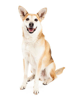 Happy Australian Cattle Dog And Shiba Inu Mix Poster by Susan  Schmitz