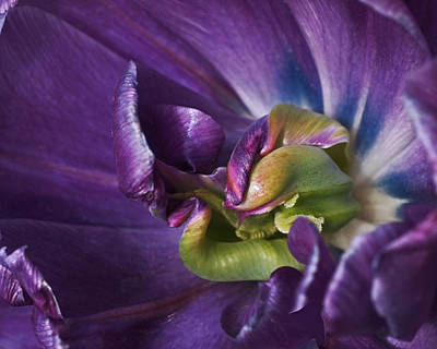 Heart Of A Purple Tulip Poster by Rona Black