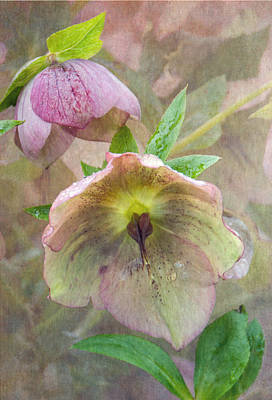 Hellebore Flower Poster by Angie Vogel