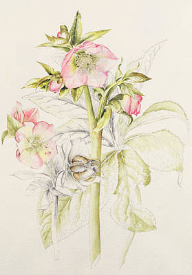 Hellebores Poster by Alison Cooper