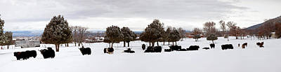 Herd Of Yaks Bos Grunniens On Snow Poster by Panoramic Images