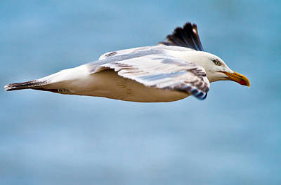 Herring Gull In Flight Poster by Mr Bennett Kent