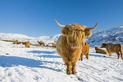 Highland Cattle On Kirkstone Pass Poster by Ashley Cooper