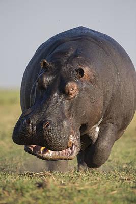 Hippopotamus Bull Charging Botswana Poster by Vincent Grafhorst
