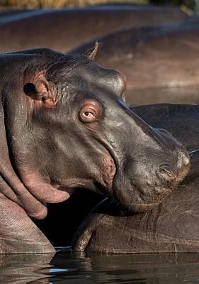 Hippopotamus Portrait Poster by Tony Camacho
