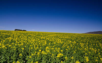 Holy Canola Poster by Aaron S Bedell
