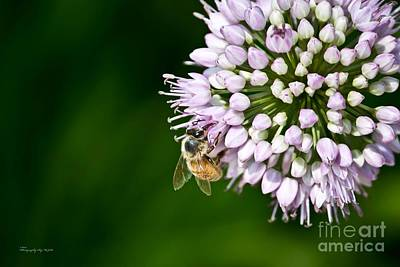Honey Bee And Lavender Flower Poster by Ms Judi