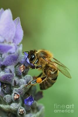 Honey Bee Poster by Joy Watson