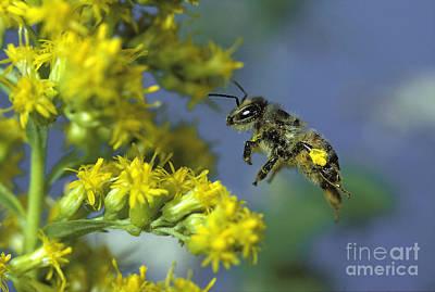 Honeybee In Flight Poster by ER Degginger