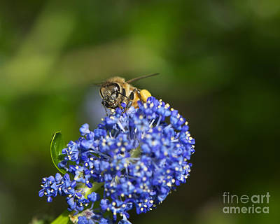 Honeybee On California Lilac Poster by Sharon Talson