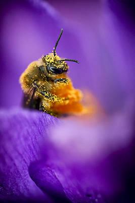 Honeybee Pollinating Crocus Flower Poster by Adam Romanowicz