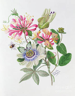 Honeysuckle And Passion Flower  Poster by Ursula Hodgson