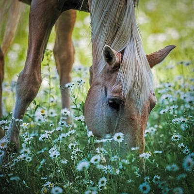 Horse And Daisies Poster by Paul Freidlund