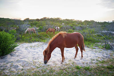Horses Grazing At Assateague Island Poster by Remsberg Inc