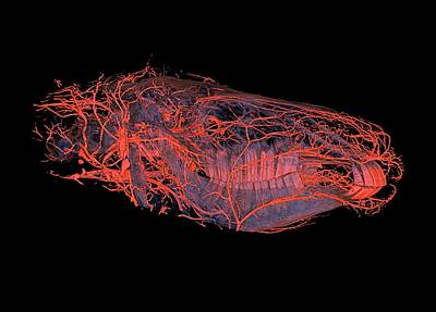 Horse's Head Blood Vessels Poster by Anders Persson, Cmiv