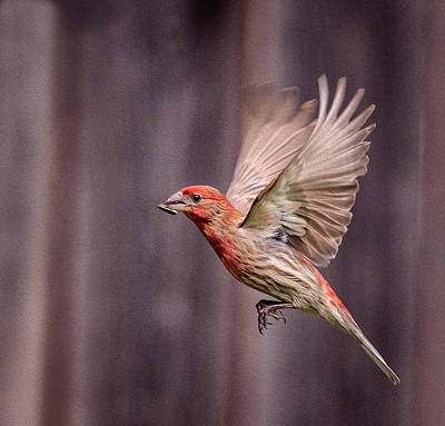 House Finch In Flight Poster by Rick Barnard