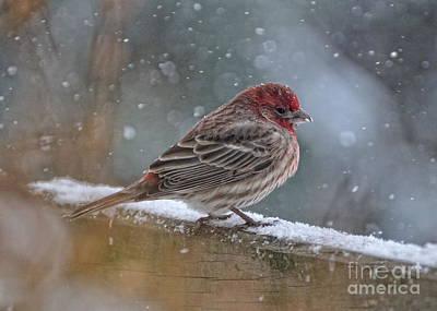 House Finch In Winter Poster by Pamela Baker