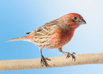 Birdwatching Poster featuring the photograph House Finch by Jim Hughes