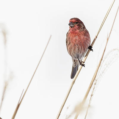 House Finch Male Square Poster by Bill Wakeley