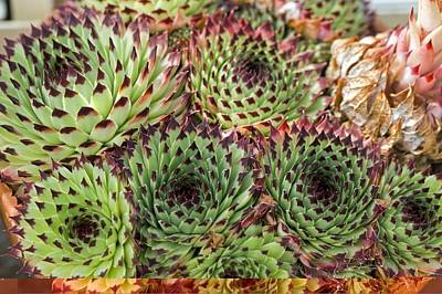 Houseleek (sempervivum Calcareum) Poster by Science Photo Library