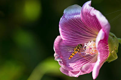 Hoverfly And Hollyhock Poster by Gert Lavsen
