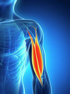 Human Biceps Poster by Sebastian Kaulitzki