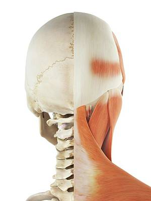 Human Head And Neck Muscles Poster by Sciepro