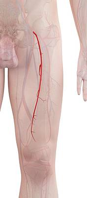 Human Leg Arteries Poster by Sciepro