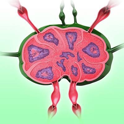 Human Lymph Node Poster by Pixologicstudio