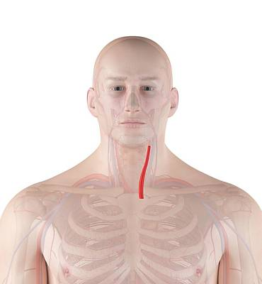 Human Neck Artery Poster by Sciepro