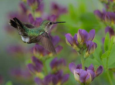 Humming In The Garden Poster by Angie Vogel