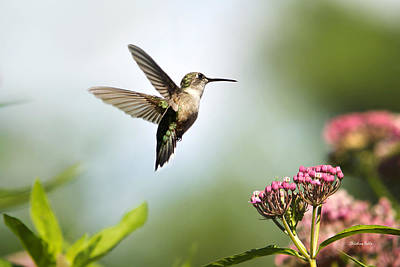 Hummingbird Art Of Natural Beauty Poster by Christina Rollo