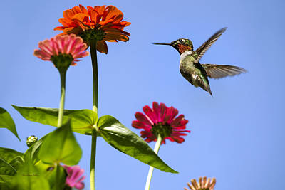 Hummingbird Happiness Poster by Christina Rollo
