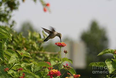Hummingbird In Action 1 Poster by Amanda Collins