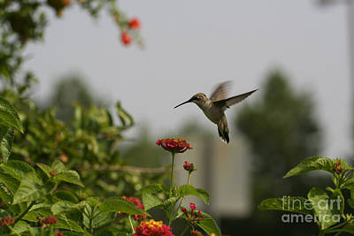 Hummingbird In Action 2 Poster by Amanda Collins