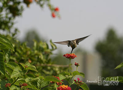 Hummingbird In Action 3 Poster by Amanda Collins