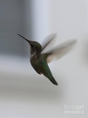 Hummingbird In Flight Poster by Carol Groenen