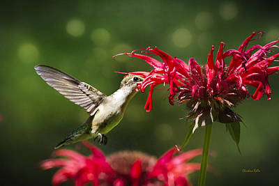 Hummingbird Indulgence Poster by Christina Rollo